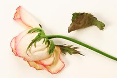 faded rose - stock photo