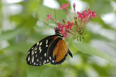Stock Photo of heliconius ismenius, heliconiinae suggling nectar suggling nectar of a red fl