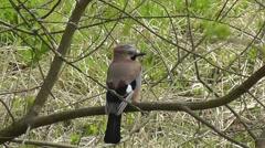 Eurasian Jay sitting in tree looking around Stock Footage