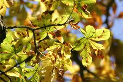 autumnale colored chestnut leafes shining in the sun - stock photo