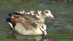 Egyptian Geese and goslings swimming close to each other Stock Footage