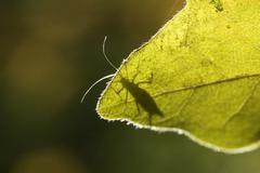 Plant louse aphid on a maple leave Stock Photos