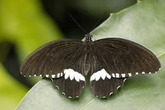 papilio thoas, swallowtail, papilionidae sitting on a leave with spreading wi - stock photo