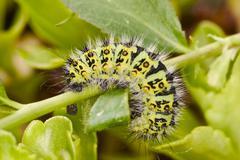 Stock Photo of emperor moth ( eudia pavonia)