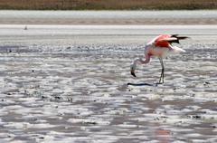 andean flamingo (lat.: phoenicoparrus andinus) at laguna onda, bolivia - stock photo