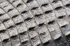 Skin of an alligator Stock Photos