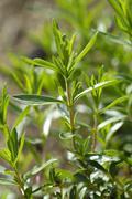 savory satureja hortensis - stock photo