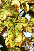 Autumnale colored chestnut leafes shining in the sun Stock Photos