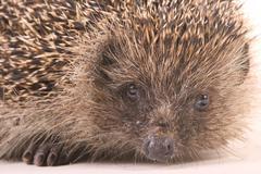 hedgehog (erinaceus europaeus) - stock photo