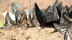 Butterflies eating salty soil in Pang Sida National Park, east of Thailand Stock Footage