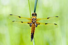 libellula quadrimaculata - stock photo
