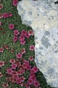 Potentilla nitida and rock Dolomites Italy Stock Photos