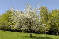 Blooming cherry tree near bad feilnbach, upper bavaria, bavaria, germany Stock Photos