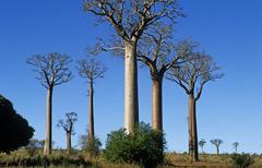 baobab tree (magnoliophyta, magnoliopsida, malvales, malvaceae), madagascar - stock photo