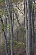 sun is shinning into a beech forest with fog lower austria - stock photo