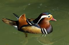 male mandarin duck aix galericulata - stock photo