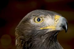 Golden eagle (aquila chrysaetos) Stock Photos