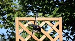 Red-winged Blackbird on a backyard feeder Stock Footage