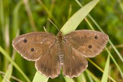 the ringlet (aphantopus hyperantus) - stock photo