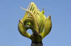 Blossoming bud of rowan sorb sorbus domestica Stock Photos