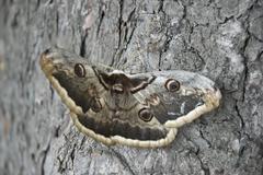 Large emperor moth (saturnia pyri) largest european butterfly Stock Photos