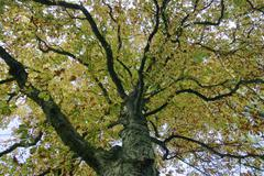 tree top of a autumnale colored chestnut tree - stock photo