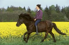 Young lady rider galopping on an icelandic horse in front of a field of rape Stock Photos