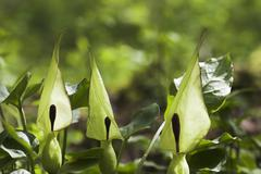 cuckoo pint (arum maculatum) with blossom and single leaf around. very poison - stock photo