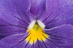 Stock Photo of viola tricolor
