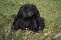 chimp chimpanzee pan troglodytes - stock photo