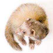 mustela putorius - stock photo