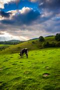 cow in a field at moses cone park on the blue ridge parkway in north carolina - stock photo