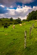 Fence and cows in a field at moses cone park on the blue ridge parkway in nor Stock Photos