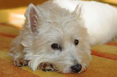 west highland white terrier lies on a carpet looking sceptical - stock photo