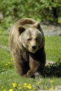 European brown bear (ursus arctos), zoo hellabrunn, munich, bavaria, germany Stock Photos