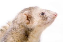 (mustela putorius) - stock photo