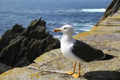 maritime fauna on skellig michael: herring gull - stock photo