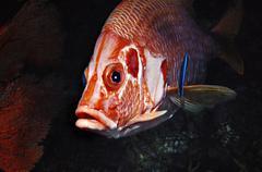 Rotes meer grossdorn husarenfisch mit putzerfisch sargocentron spiniferum e:  Kuvituskuvat