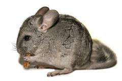 chinchillas - stock photo