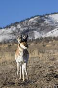north american male pronghorn antelope - stock photo