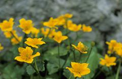 Kings cups caltha palustris bavaria germany Stock Photos