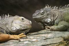Two green iguanas (iguana iguana), duisburg zoo, north rhine-westphalia, germ Stock Photos