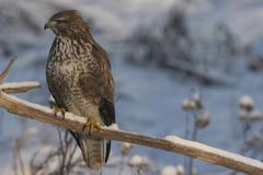 Stock Photo of common buzzard (buteo buteo) perched on a branch, wintertime