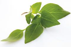 Thai basil (ocimum basilicum thai) Stock Photos