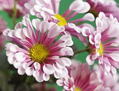Mums or chrysanthemums (asteraceae) Stock Photos