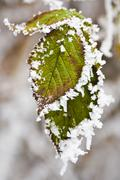 Stock Photo of hoar frost on leafs
