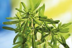 summer savory (satureja hortensis) - stock photo