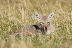 Chilla or grey zorro or south american grey fox (pseudalopex griseus), nation Stock Photos