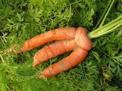 Stock Photo of crooked malformed carrot