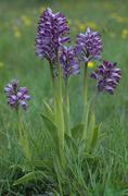 Military orchid (orchis militaris), from the orchidaceae or orchid family Kuvituskuvat